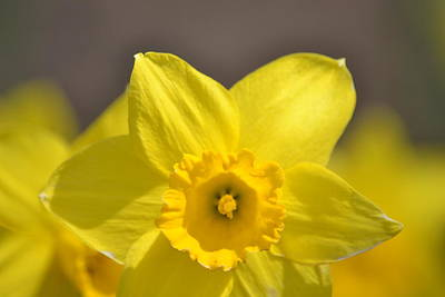 Yellow Daffodil Flower Poster