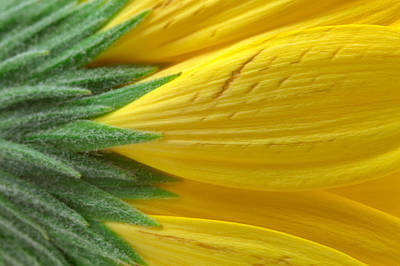 Yellow Daisy Macro Poster