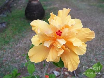 Yellow Double Hibiscus Poster