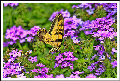 Yellow Eastern Tiger Swallowtail On Flowers Poster