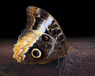 Yellow-edged Giant Owl Butterfly Poster