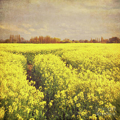 Yellow Field Poster by Lyn Randle