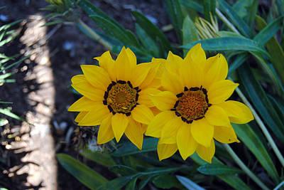 Gazania Rigens - Treasure Flower Poster