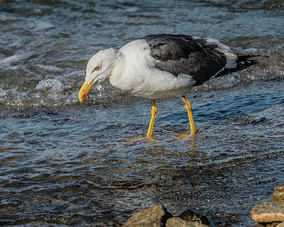 Yellow-footed Gull In Water Poster