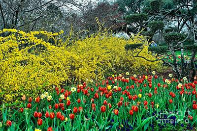 Poster featuring the photograph Yellow Forsythia by Diana Mary Sharpton