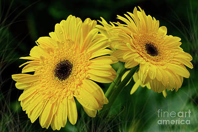 Poster featuring the photograph Yellow Gerbera Daisies By Kaye Menner by Kaye Menner