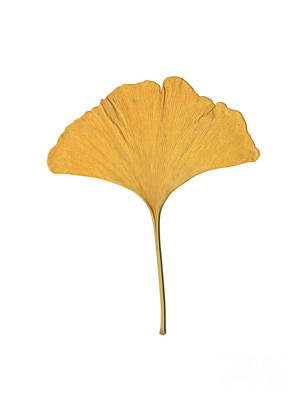 Yellow Ginkgo Leaf Poster by Renee Trenholm