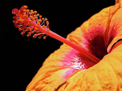Poster featuring the photograph Yellow Hibiscus by Marie Hicks