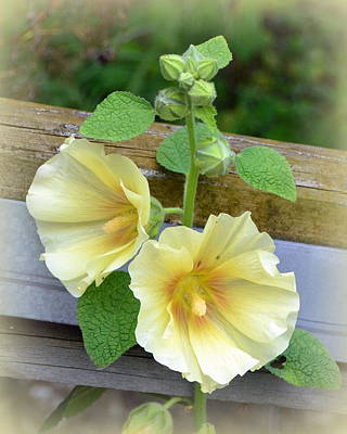 Yellow Hollyhocks Poster by Carla Parris