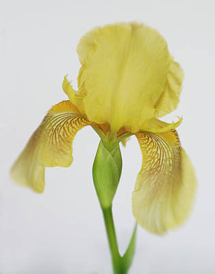 Poster featuring the photograph Yellow Iris A Symbol Of Passion by David and Carol Kelly