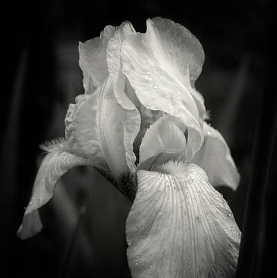 Yellow Iris In Black And White Poster by Chrystal Mimbs
