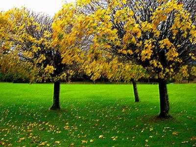 Yellow Leaves At Muckross Gardens Killarney Poster