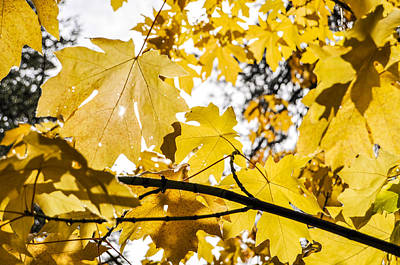 Yellow Leaves Poster by Pelo Blanco Photo