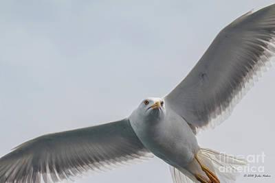 Yellow-legged Gull - Larus Michahellis Poster