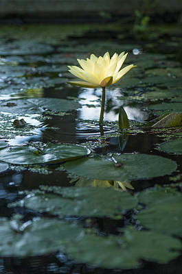 Yellow Lilly Tranquility Poster