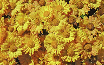 Yellow Mums Poster