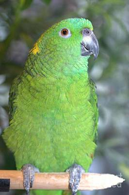 Poster featuring the photograph Yellow-naped Amazon by Debbie Stahre