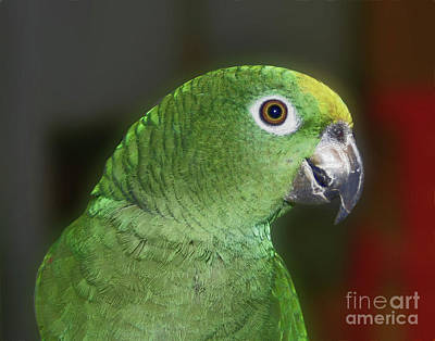 Poster featuring the photograph Yellow Naped Amazon Parrot by Smilin Eyes  Treasures