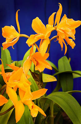 yellow Orange Orchids Poster