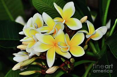 Poster featuring the photograph Yellow Plumeria By Kaye Menner by Kaye Menner