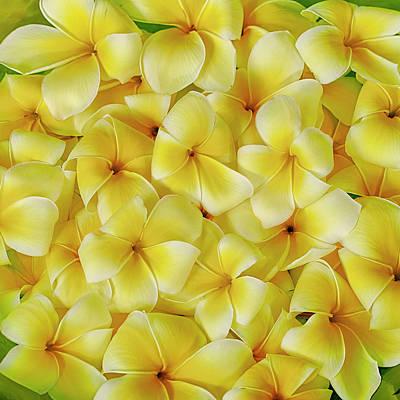 Yellow Plumerias Poster