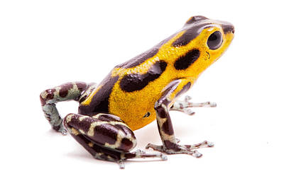 Yellow Poison Dart Frog Panama Isolated Poster by Dirk Ercken