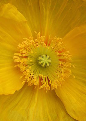 Yellow Poppy Flower Center Poster