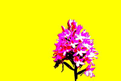 Yellow Pyramid Orchid Poster