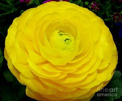 Yellow Ranunculus Flower Poster