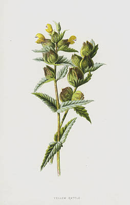 Yellow Rattle Poster by Frederick Edward Hulme