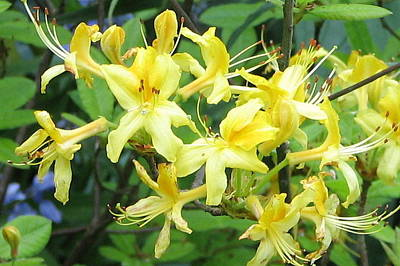 Yellow Rhododendron Poster by Carla Parris
