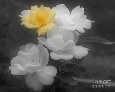 Poster featuring the photograph Yellow Rose Cluster Partial Color by Smilin Eyes  Treasures