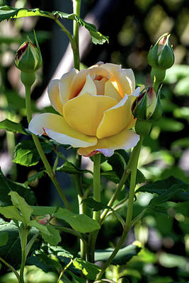 Yellow Rose Family Poster by John Haldane