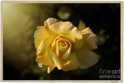 Yellow Rose In Bloom Poster by Stefano Senise