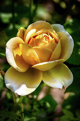 Yellow Rose In Light And Shadow Poster by John Haldane