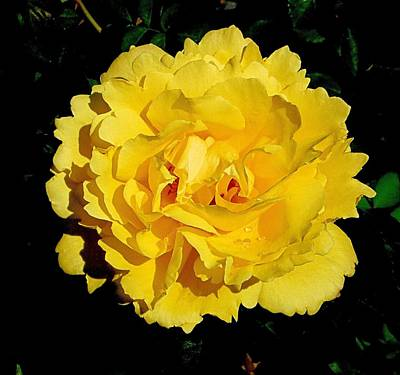 Yellow Rose Kissed By The Rain Poster