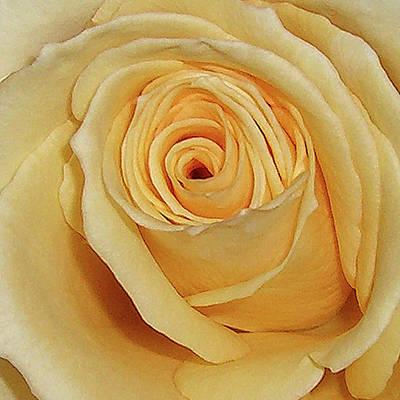 Yellow Rose Poster by Merton Allen