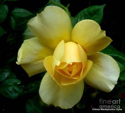 Yellow Rose Midas Gold 4 Poster by Anna Folkartanna Maciejewska-Dyba