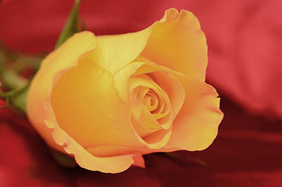 Yellow Rose On Red Poster