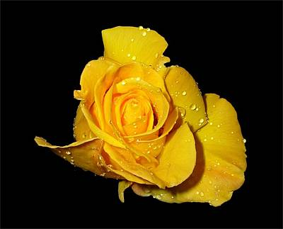 Yellow Rose With Dew Drops Poster
