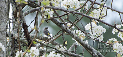 Yellow-rumped Warbler In Pear Tree Poster by Donna Brown
