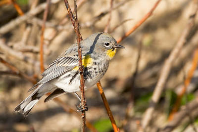 Yellow-rumped Warbler On A Willow Poster