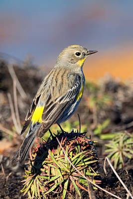 Yellow-rumped Warbler On The Bluff Poster