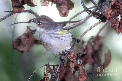 Yellow Rumped Warbler Perched On A Branch Poster