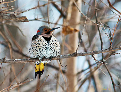 Yellow-shafted Northern Flicker Staying Warm Poster by Edward Peterson