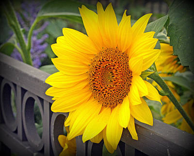 Yellow Sunflower On Iron Fence Poster
