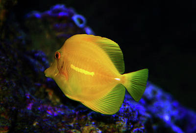Poster featuring the photograph Yellow Tang by Anthony Jones