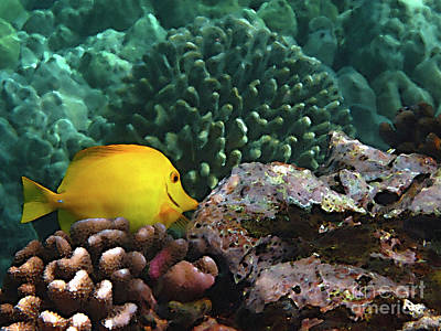 Yellow Tang On The Reef Poster by Bette Phelan