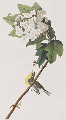 Yellow-throated Vireo Poster by John James Audubon