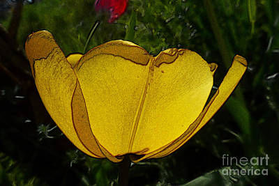 Yellow Tulip 2 Poster by Jean Bernard Roussilhe